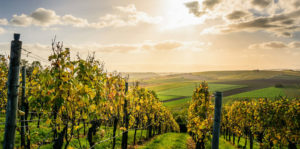 This is a photo of a vineyard