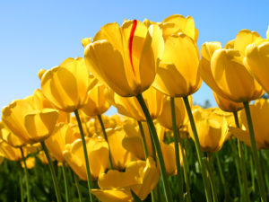 this is a photo of tulips